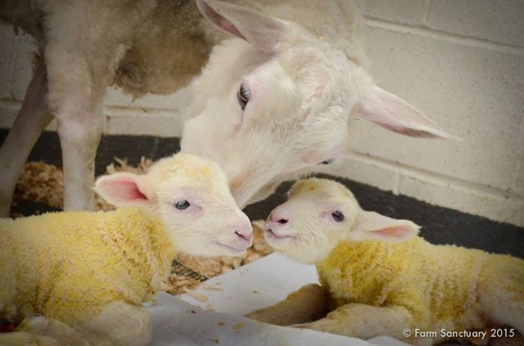 Louise, a sheep rescued by Farm Sanctuary, is in for double trouble. Farm Sanctuary announced on Facebook that she just gave birth to twin boys, and now all her time on the farm will be happily dedicated to raising them.