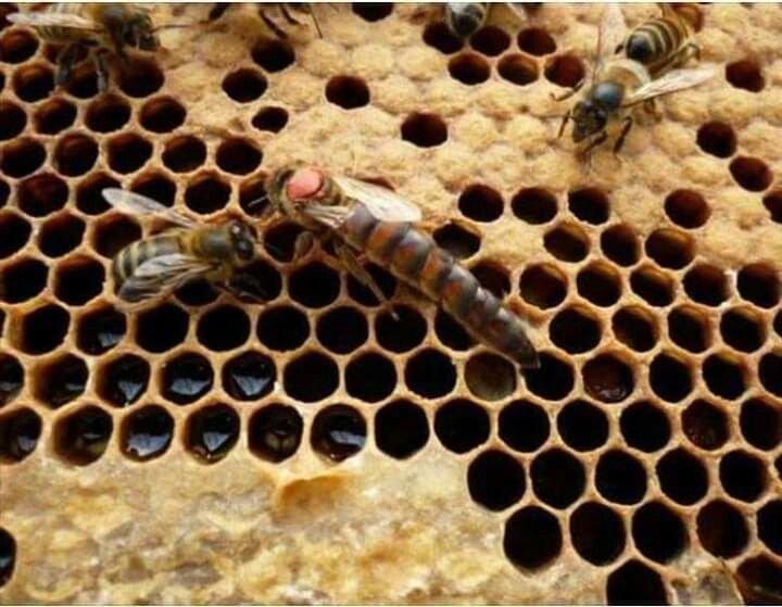 Горбатый расплод у пчел фото
