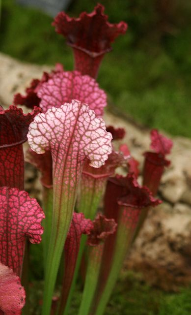 Pitcher Plants These are just gorgeous.  I find these are very hard to grow up North  www.perugiaflowershow.com