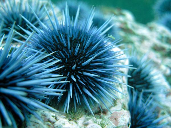 """Sea Urchin, Channel Islands    Photograph by Lindsey Hesla, My Shot    Sea urchins brandish their spines on the seafloor near the Channel Islands. Scientists recently discovered that the eyeless invertebrates """"see"""" by detecting light with their spines."""