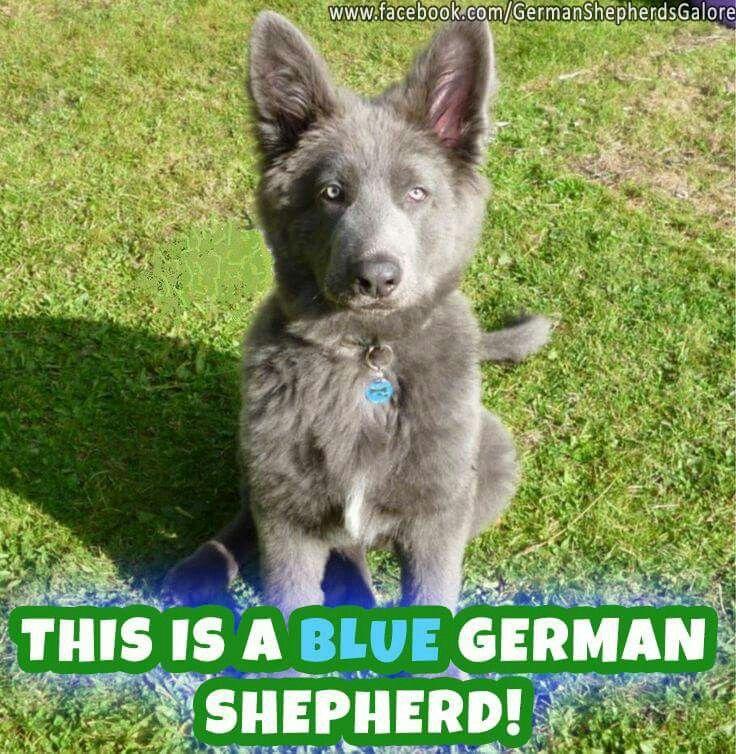 German shepherd  galore fb-- I like the livers 2!!  Lost my heart to german shepherd!