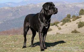 Imagen de una hembra de Cane Corso Italiano de pelo negro en el campo. Orejas intactas, naturales. Raza de perros (Image of a female Cane Corso in the field. Intact, natural ears. Breed of dogs).
