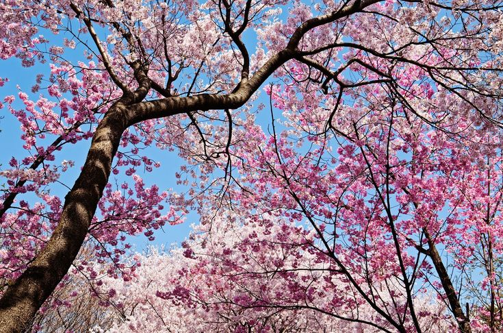 Cherry Blossom Tree Facts That You Definitely Never Knew Before Cherry Blossom Tree Blossom Trees Cherry Blossom