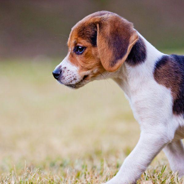 Small Dog Breeds - Beagle - News - Bubblews