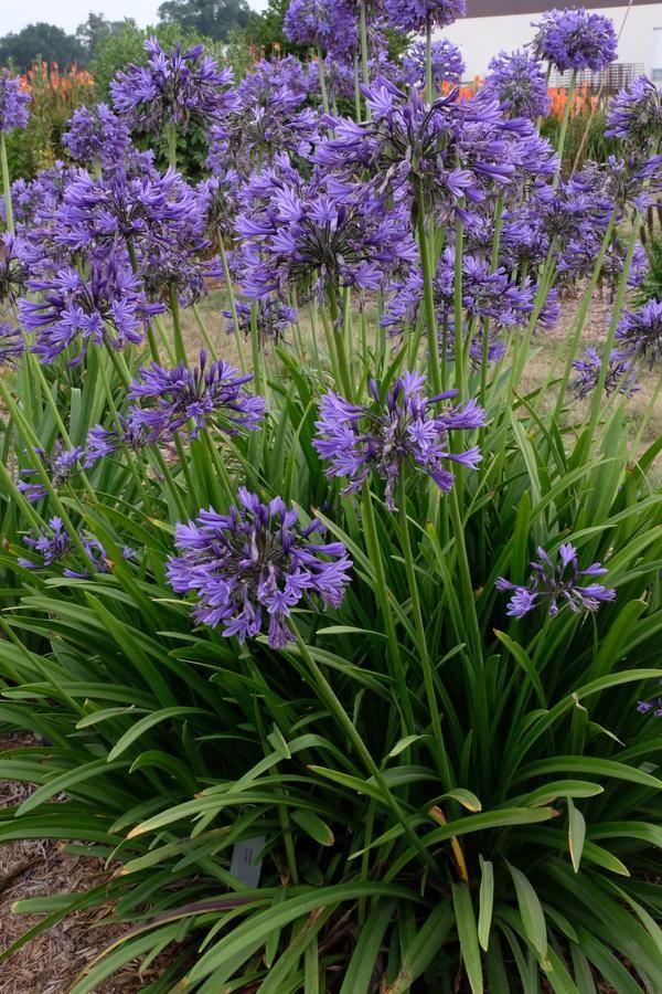 Agapanthus Navy Blue In 2020 Garden Plants Uk Plants Uk Rock Garden Plants