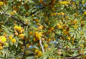 """""""huisache"""" comes from an Aztec word, huitz-axin.  """"Huitz"""" means it, he, or she comes, and """"axin"""" is a yellow oily substance derived from a bug and used to stain skin and other things yellow.  Perhaps, then, huitz-axin refers to this acacia becoming yellow in the spring, maybe"""