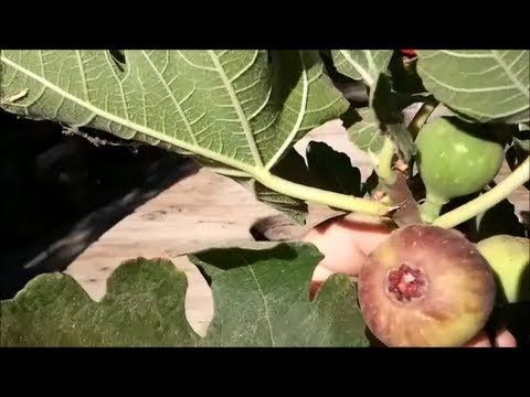 HOW TO GROW A FIG TREE FROM A CUTTING: PART 2