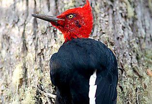 pájaro carpintero, se encuentra desde la IV región hasta Magallanes, Chile