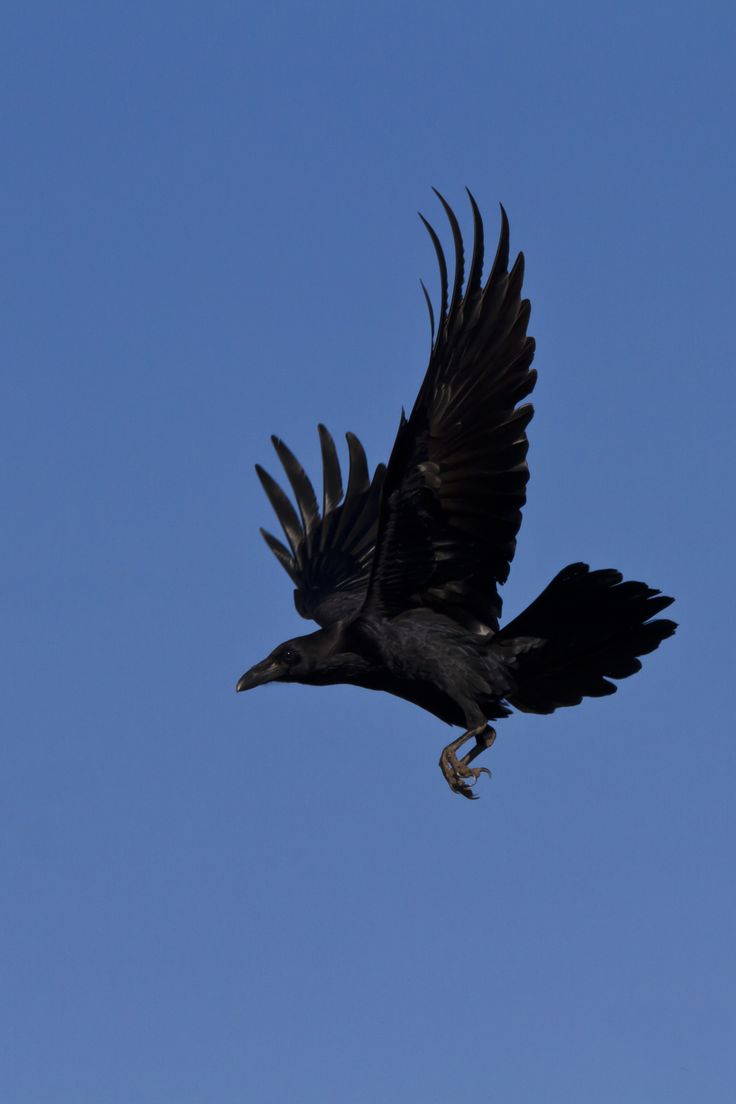 Corvid identification note: Good example of a raven's tail in flight -- it's still pointed/wedge-shaped, even when spread. (A crow's will be thinner and more blunt.)