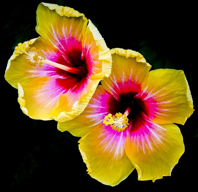 the  best yellow hibiscus ideas on   hibiscus flowers, Natural flower