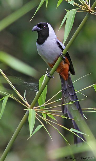Collared Treepie on bamboo