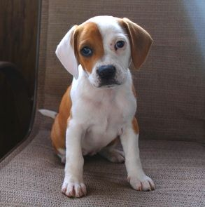boxer+beagle+mix+pup | meet december s first pet of the week banks she is adorable