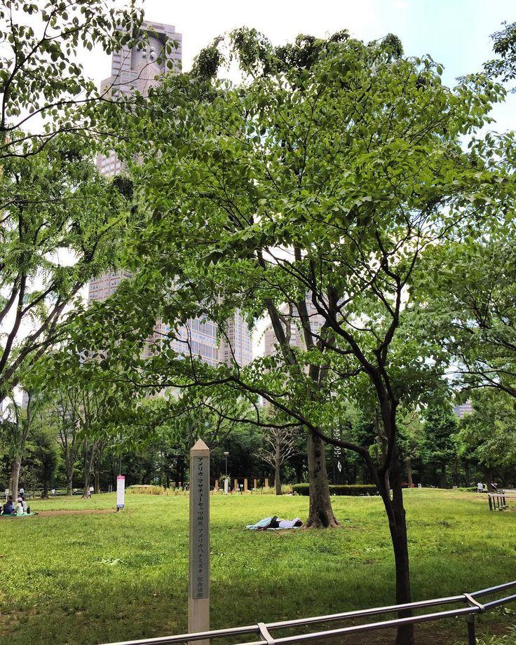 都庁をバックに見ながら中央公園を歩いていたらアメリカマサチューセッツのハナミズキを植樹したとの標識があったそれほどの大木になってないので#dogwood #massachusetts #american #shinjuku #tokyo