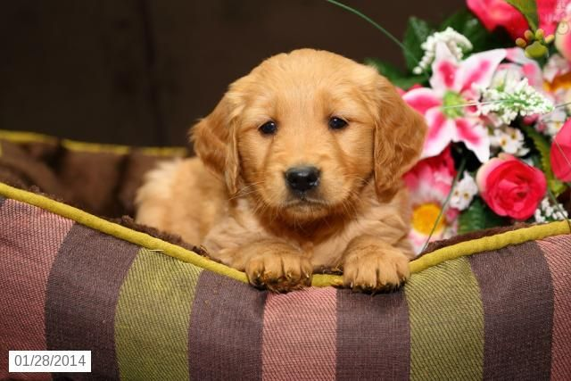 golden retriever persuasive speech Golden retrievers what is so important about golden retrievers that should be  known to the society it is not a secret that these dogs have a canine undisclosed .