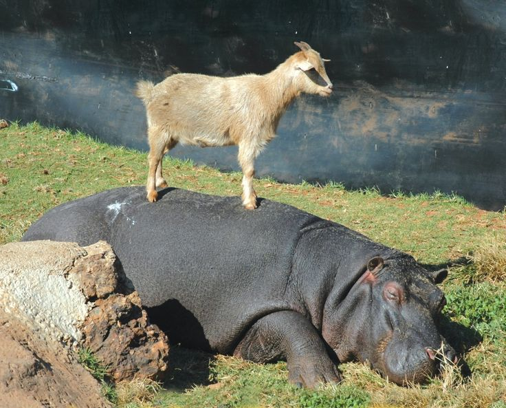 A goat stands on his hippo friend. The two are constant companions. Credit: Rhino and Lion Nature Preserve: Goats, Hippo, Animals, Pet, Mountain Goat, Odd Couples, Animal Friendships, Rhino, Unusual Friendships