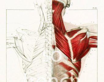 Anatomie humaine Antique Art Print lot de 12 par QuantumPrints