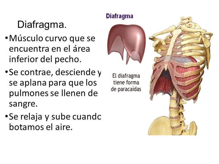 Sistema respiratorio. ¿Cuál es la función del sistema respiratorio ...