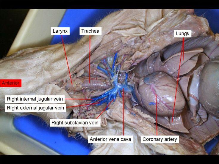 Mejores 11 imágenes de fetal pig anatomy en Pinterest | Anatomía ...