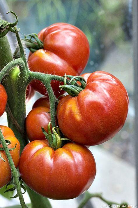 Tomates Plus