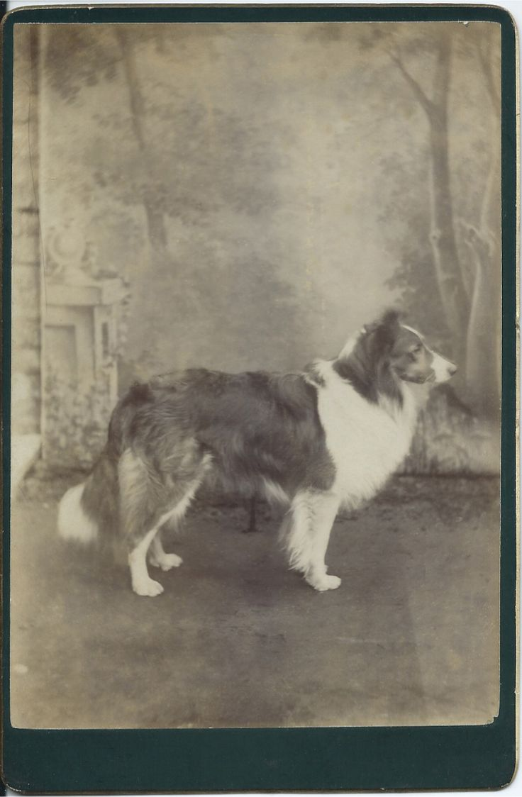 c.1890 cabinet card of collie in profile, standing in front of painted backdrop in photographer's studio, No identification of photographer or dog. From bendale collection
