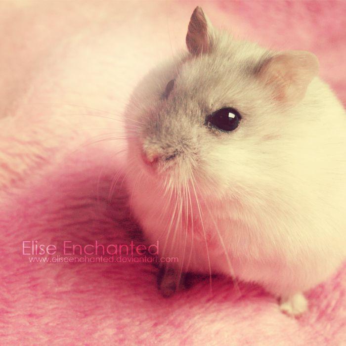 Hamster *** Sweetest breed of hammies!***