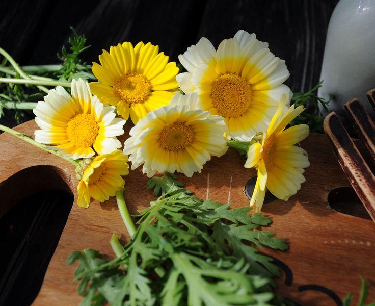 CHRYSANTHEMUM coronarium - Shungiku (Chopsuey) - Crizantema comestibila
