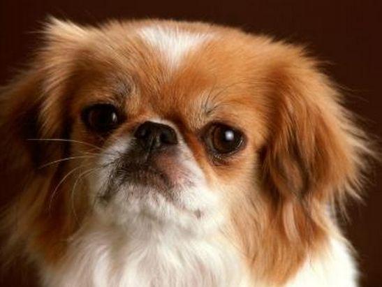 SOS Animal com amor: Pequinês o favorito na antiga corte chinesa