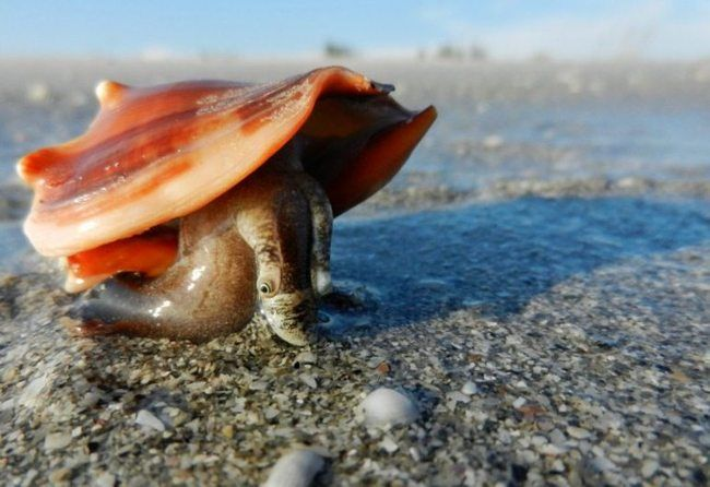 """Fighting Conchs are herbivors They have two eyes to look back at you. If you pick one up they will use their foot to push back as if to say """"Put me down now."""""""