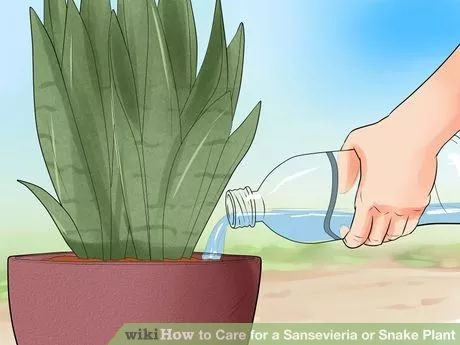 Image titled Care for a Sansevieria or Snake Plant Step 8