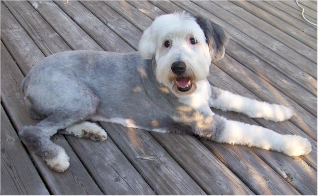 Pin by Barb Salmon on Old English sheepdogs pleaseeee and ...
