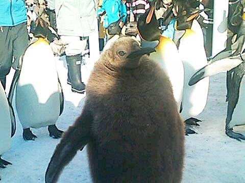 Penguin walking[Asahiyama Zoo] (Hokkaido) , Japan.