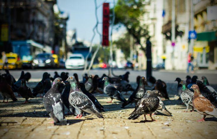 Pigeons in Rosetti Square