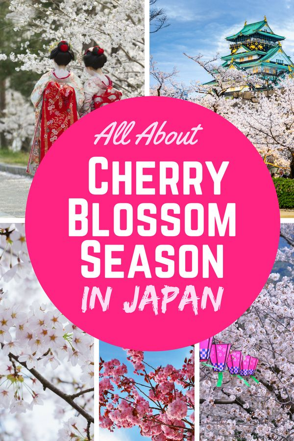 Cherry Blossom In Japan The Ultimate Guide Missabroad Japan Travel Cherry Blossom Japan Japan