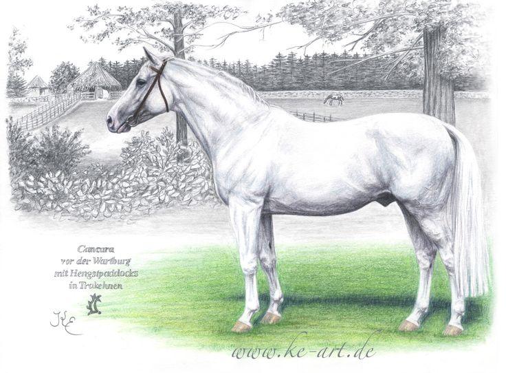 Trakehner stallion Cancara - Horsedrawing by Katja Eichhorn