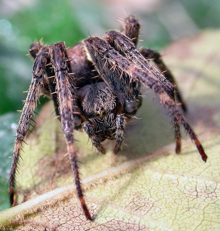 Trapdoor Spiders Bite: 69 Best Arachnophobia Nightmares (Spiders) Images On