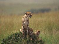 Mamma Ghepardo E Cuccioli,