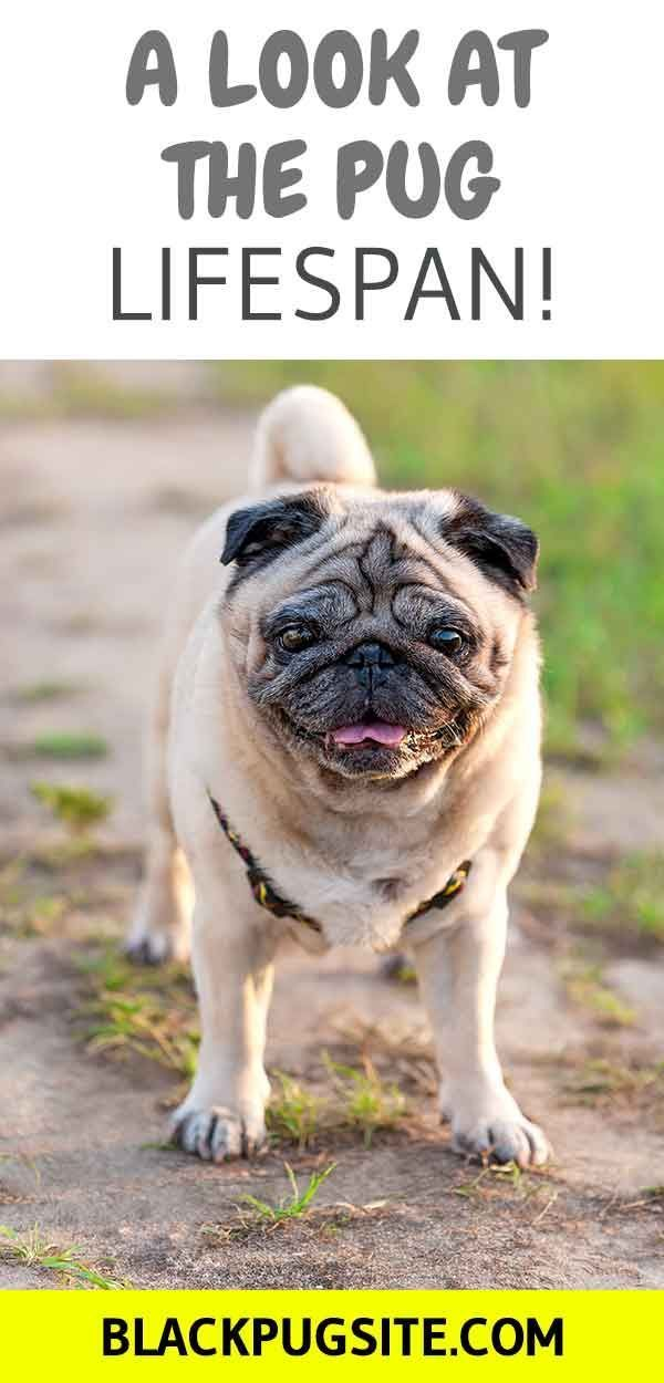 What You Need To Know About The Pug Lifespan And How Long You Can