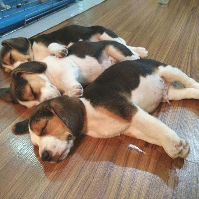 Beagle Friendly And Curious Dog Breeds Puppies Beagle Puppy