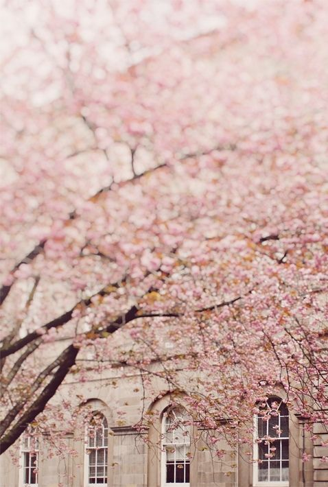 mood | cherry blossoms in the spring | via: tumblr