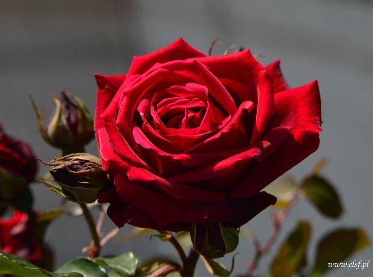 Róża, rose... Heliosem malowana! 