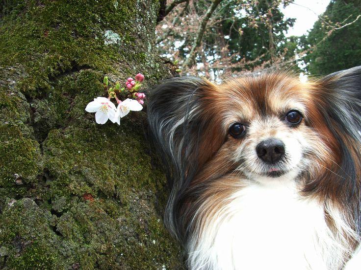 元気くん/帰りの電車まであと2時間。殆ど咲いていなかった桜、やっと見付けたけな気に咲いてくれていた桜に「ありがとう!」と一緒に記念撮影