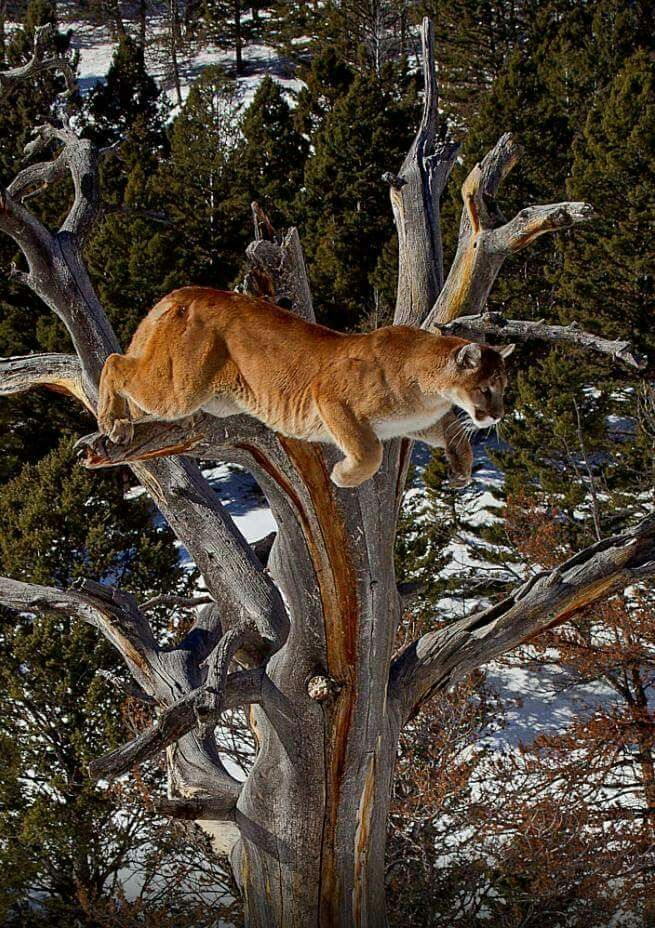 Leão da montanha