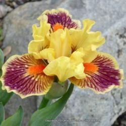 Standard dwarf iris 'Zooboomafoo'