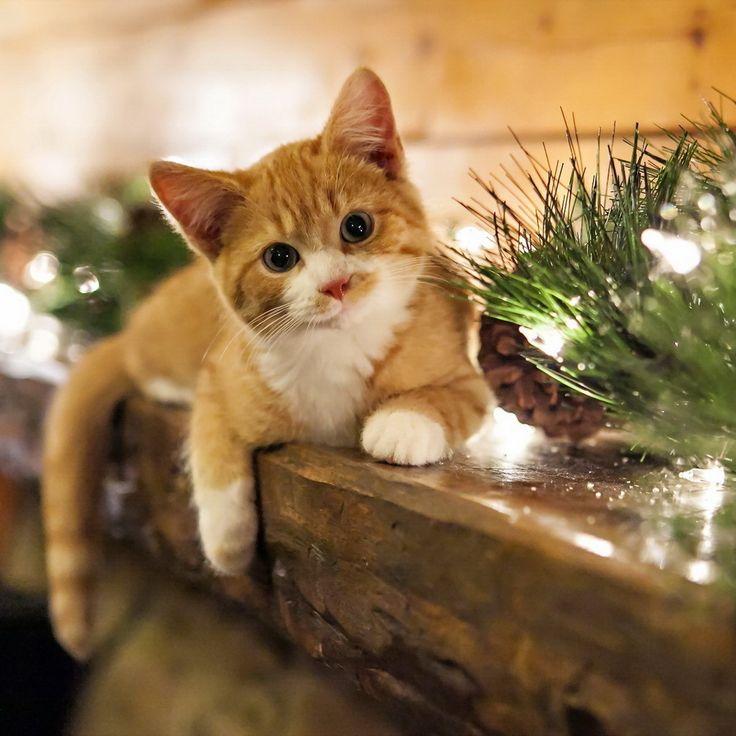Stay meng domesticated kitten ipad air tablet wallpaper - Kitten wallpaper for ipad ...