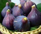 Figo Preto – Black Madeira – 4 starke Feigenbaumstecklinge 1 Geschenk! #Pflanzen #Samen   – Plants & Seeds