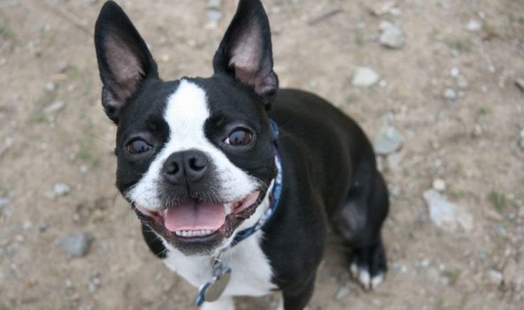 Boston Terrier Temperament: Everything You Need to Know