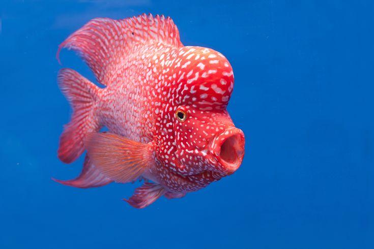 フラワーホーンは中型魚の中でも比較的飼育がしやすい魚です。「シクリッド」を数種類交配して誕生したといわれています。 オスのフラワーホーンは「ピンク」に「グリーン」「ブルー」が入った派手な体色に赤い眼をしており、頭の大きな「こぶ」があるユニークな外見をしています。ヒレも大きく存在感も抜群ですよ。 この記事ではフ