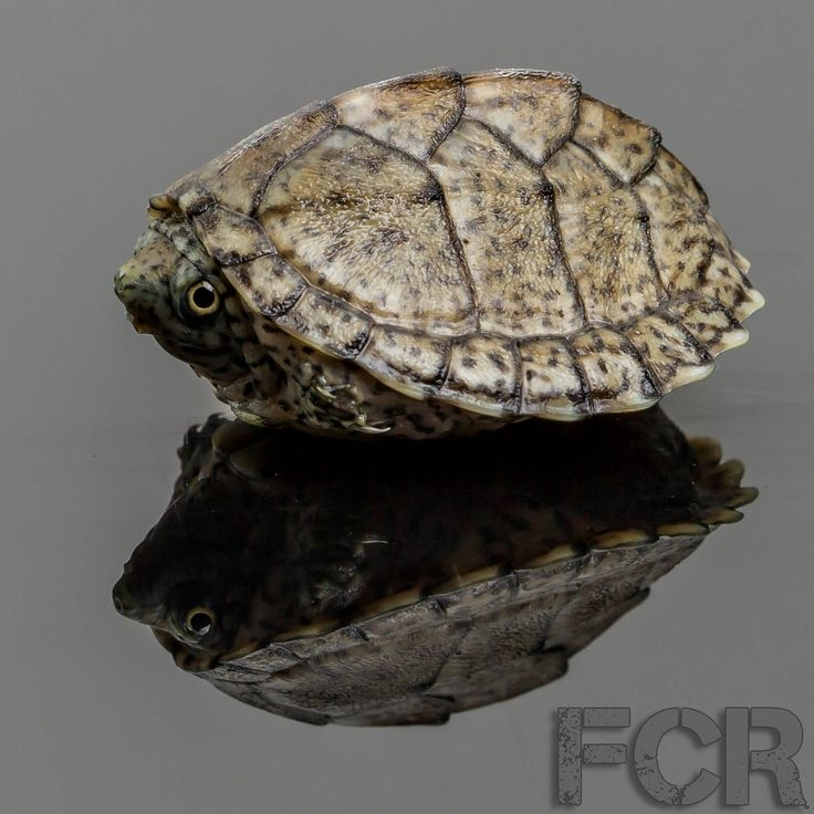 First Choice Reptiles - CB Baby Razorback Musk Turtle For Sale, $30.00 (http://www.firstchoicereptiles.com/cb-baby-razorback-musk-turtle-for-sale/)