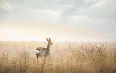 Johan Lennartsson - Rådjur. A photo of a deer in a yellow field.