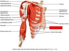 Lab Practical 3 - Muscles, locations Flashcards | Quizlet